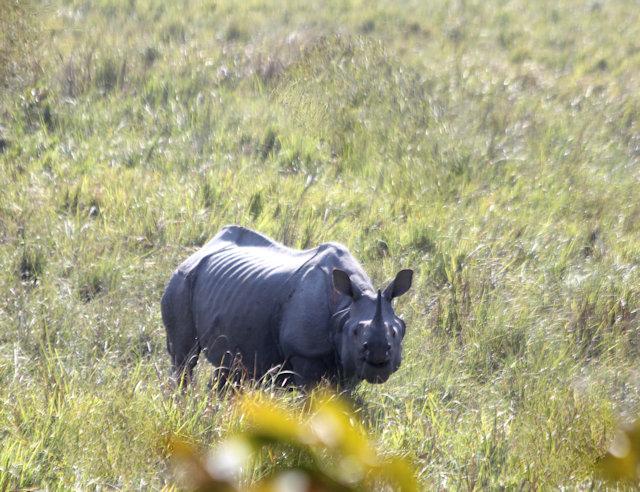 kaziranga_rhinoceros