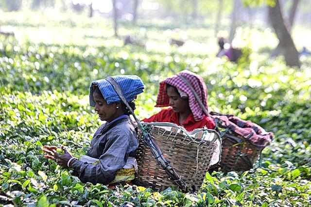 nagaon_tea plantation