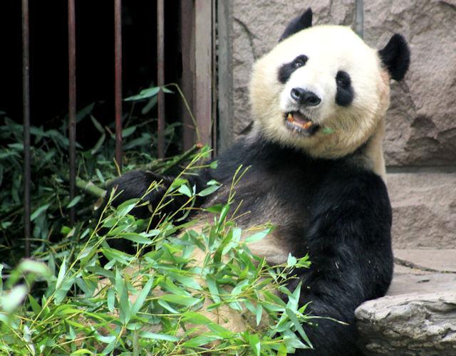 beijing zoo_giant panda