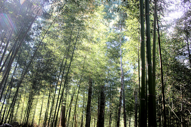 hong_bamboo forest