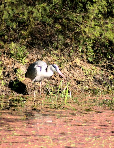 keoladeo ghana_blue heron