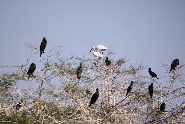 keoladeo ghana_spoonbills and cormorants