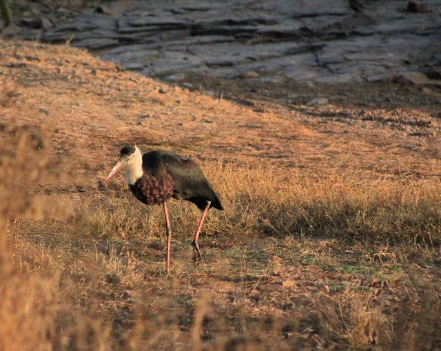 ranthambhor_woolly-necked stork