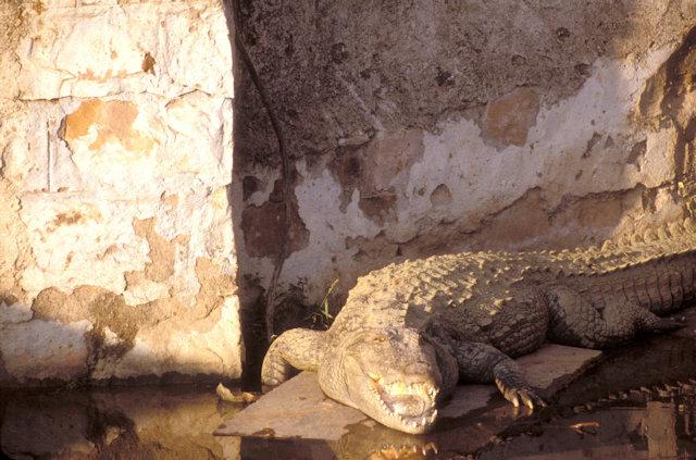 bundi_crocodile