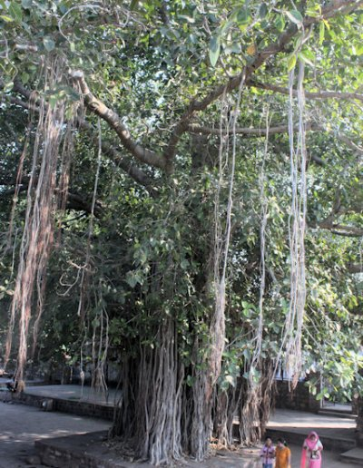 chandravati_banyan tree