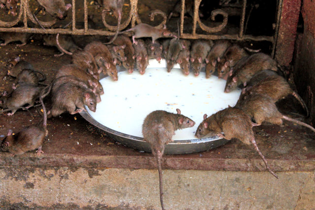 deshnoke_karni mata temple_rodent inhabitants