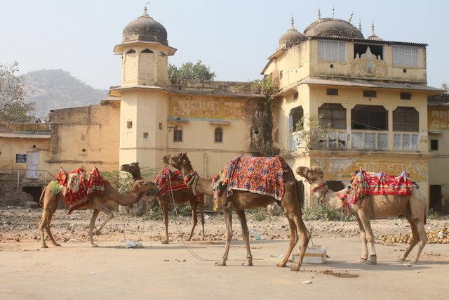 jaipur_camels
