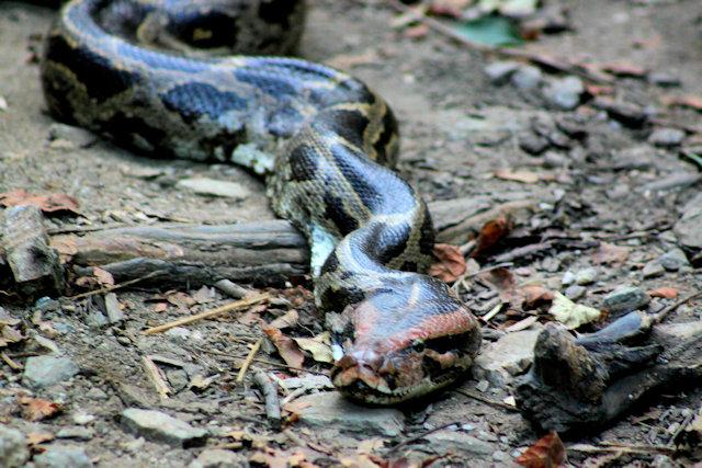 kumbhalgarh_wildlife sanctuary_sand boa