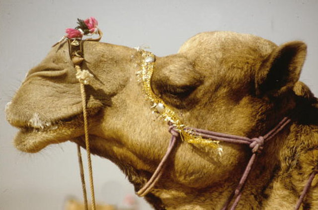 pushkar_camel fair_3