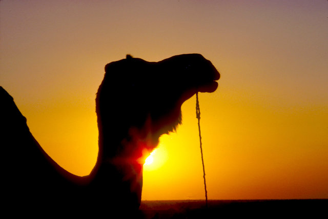 thar desert_camel at sunset