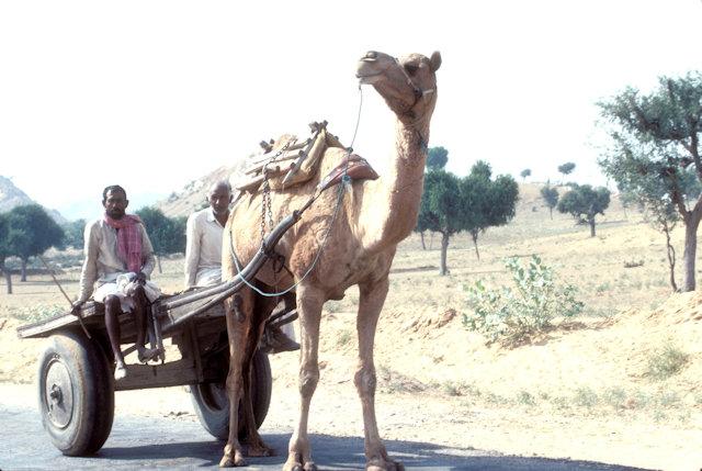 thar desert_camel cart