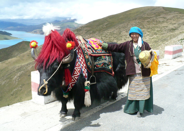 kamba la pass_domesticated yak