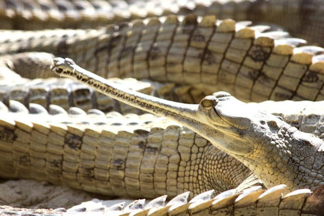 lucknow_gharials