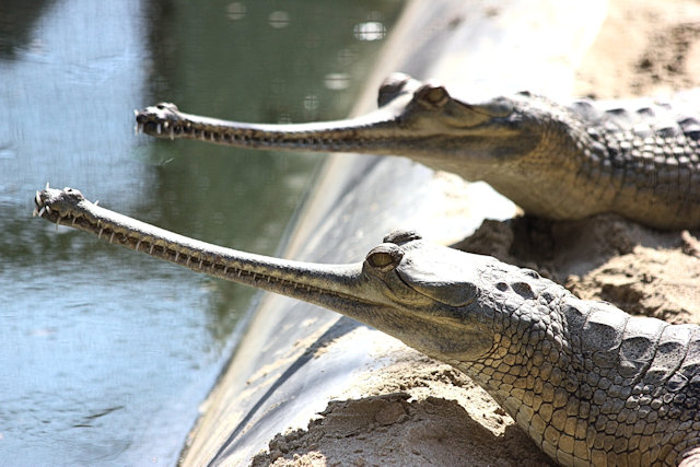 lucknow_gharials_2