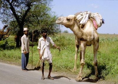 madhya pradesh_camel herders