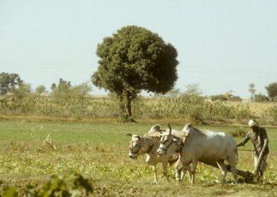 madhya pradesh_cultivation