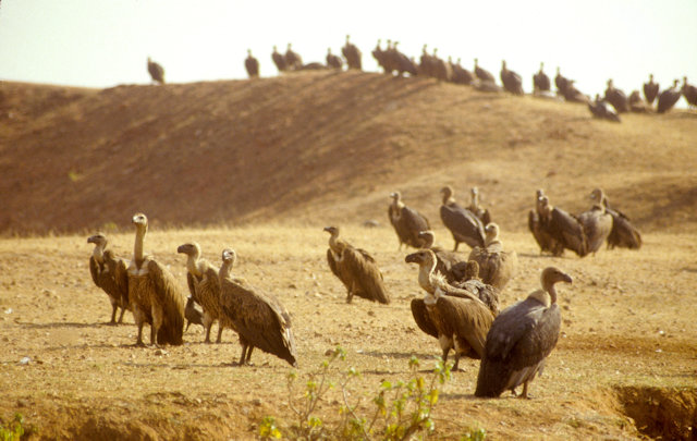 madhya pradesh_vultures
