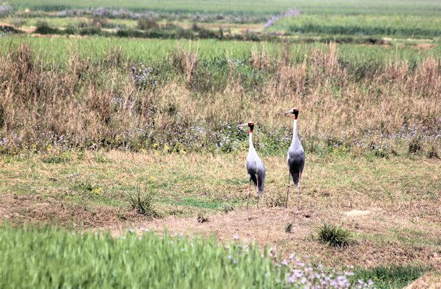 aonla_sarus cranes