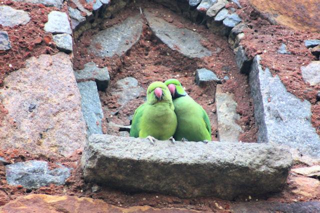 delhi_parakeets