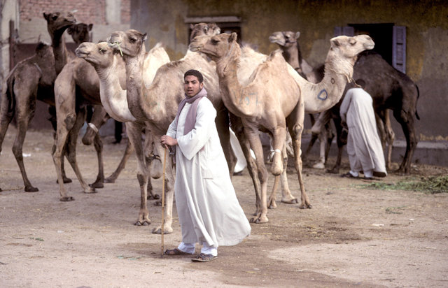 birqash_camel market