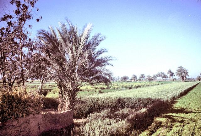 fayoum_cultivation