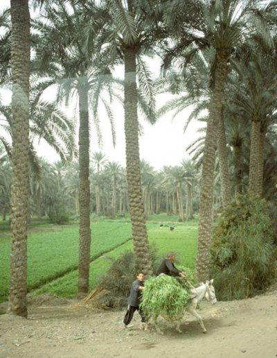 saqqara_palm grove