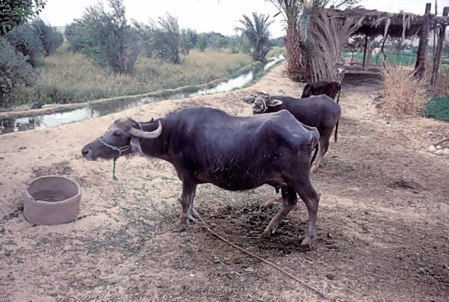tell al-amarna_water buffalo