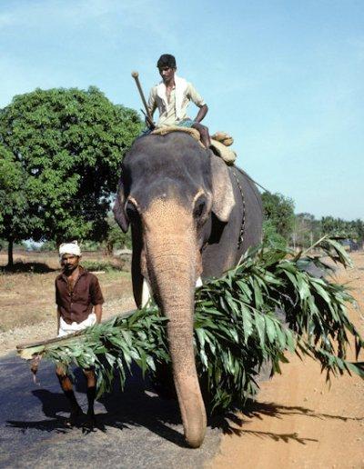 kerala_work elephant