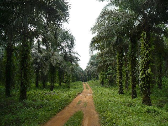korup_avenue of palms
