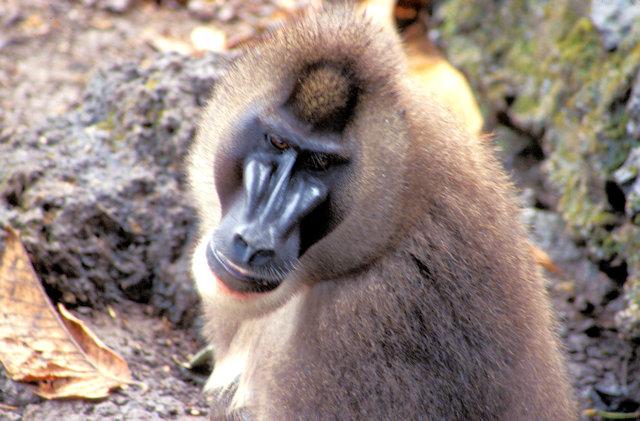 limbe_primate reserve_drill