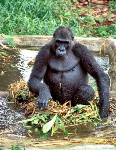 limbe_primate reserve_gorilla