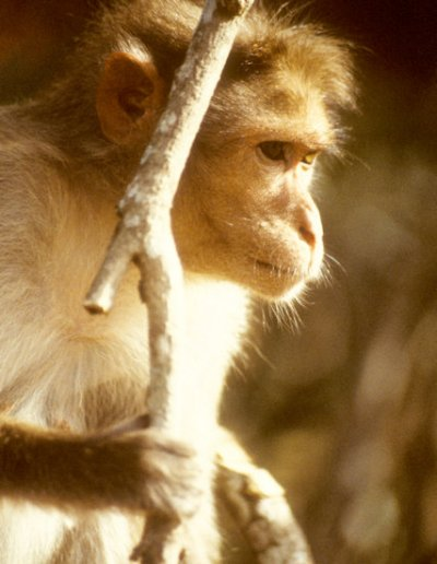 mudumalai_macaque