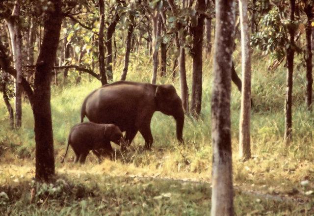 mudumalai_wild elephants