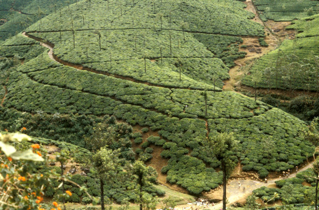 periyar_tea plantation