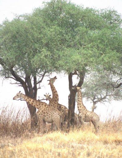 waza_giraffes