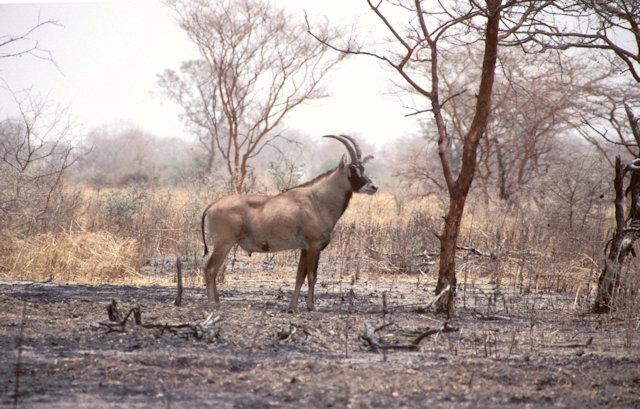 waza_roan antelope