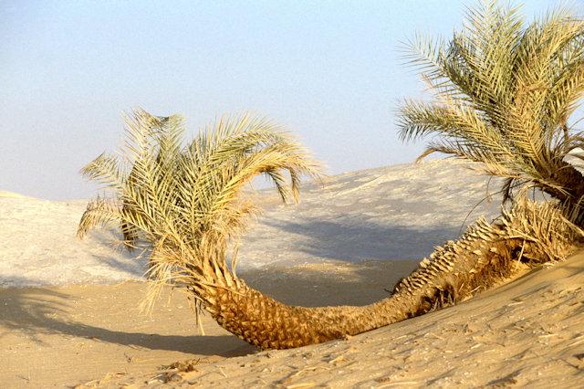 white desert_fallen palm