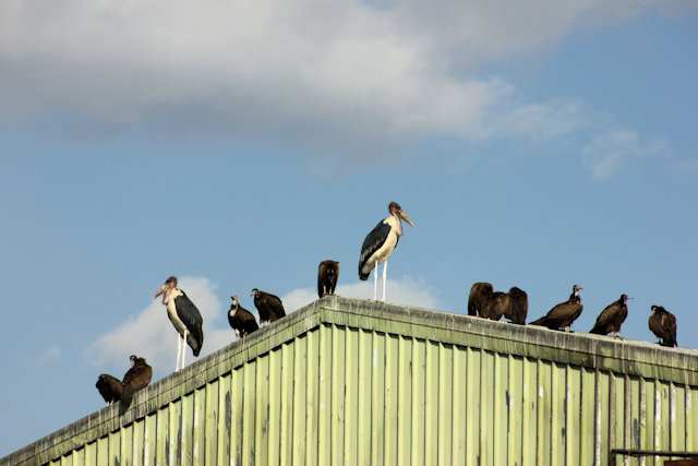 addis ababa_vultures and marabou storks