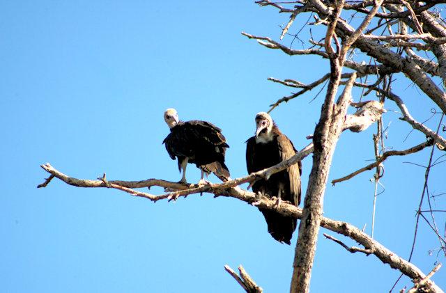 bahir dar_lake tana_vultures