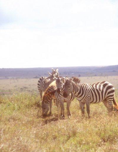 bale mountains_zebras