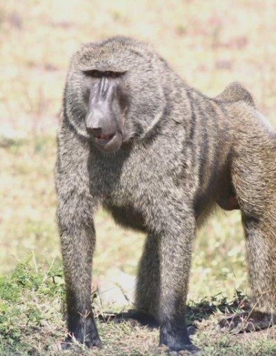 boditi_olive baboon