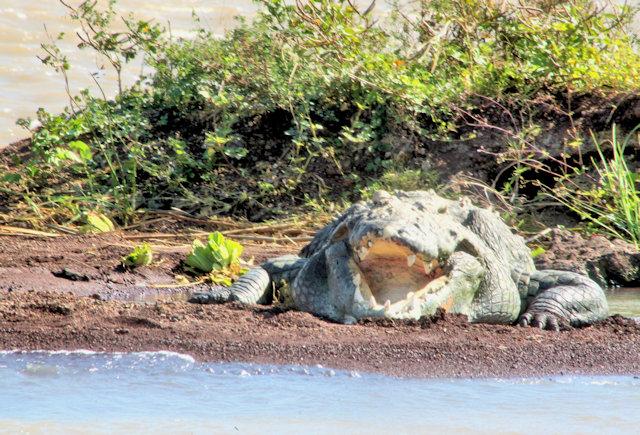 lake chamo_crocodiles_2