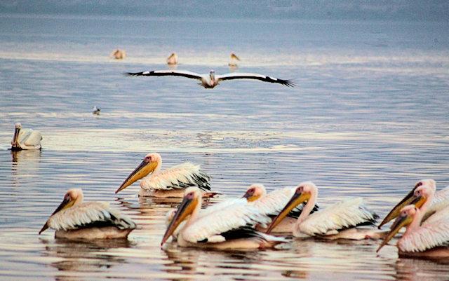 lake langano_pelicans