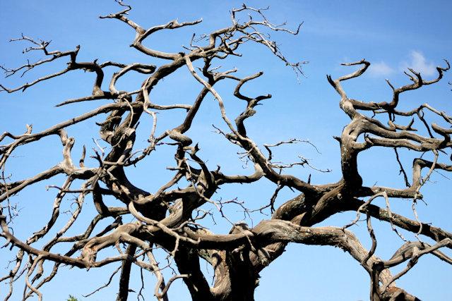 lalibela_tree