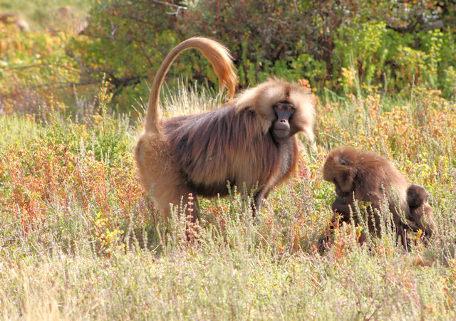 simien mountains_gelada baboons