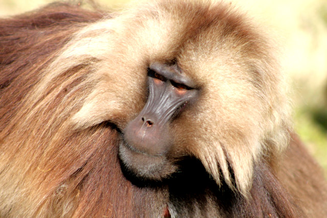 simien mountains_gelada baboons_2