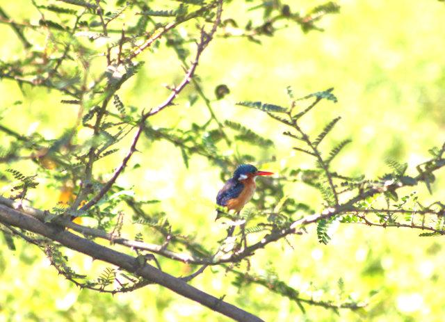 ziway_malachite kingfisher