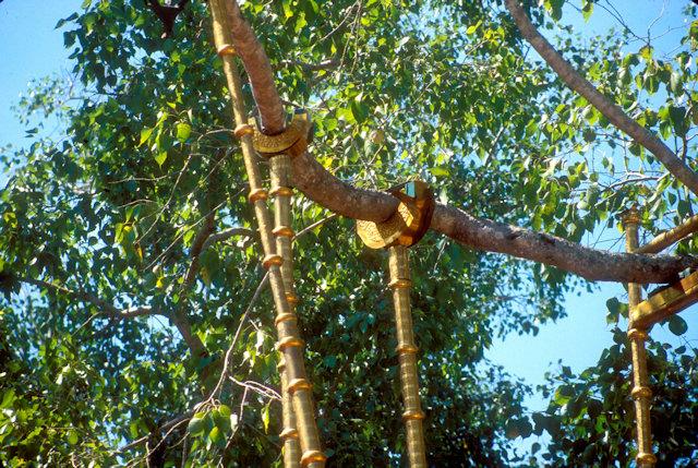 anuradhapura_sri maha bodhi_sacred bo tree