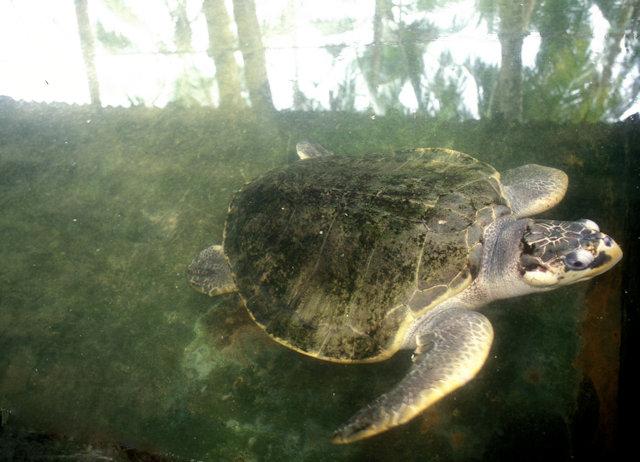 balapitiya_turtle hatchery_sea turtle