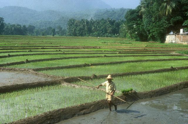dambana_cultivation